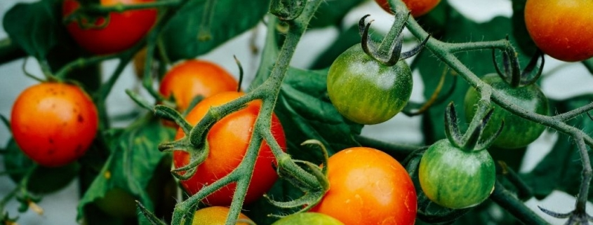 Best Tomatoes for Container Gardening